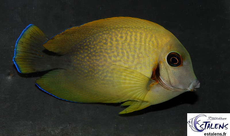 Acanthurus chronixis  5-7