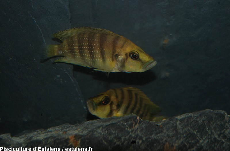 Altolamprologus compressiceps Gold 5-6