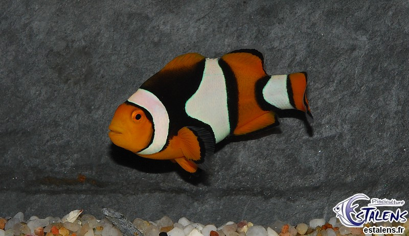 Amphiprion percula  3-4 (el)
