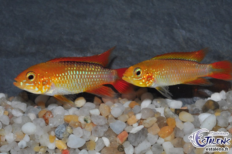 Apistogramma agassizii Fire Red 4-5