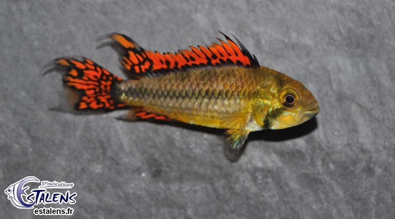 Apistogramma cacatuoides Double red 4-5
