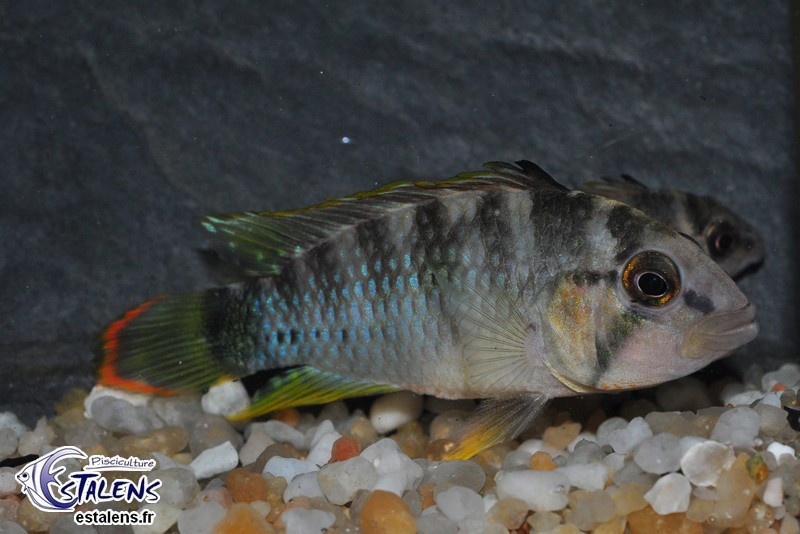 Apistogramma sp. Oregon Rio Tigre 4-5+ Svg
