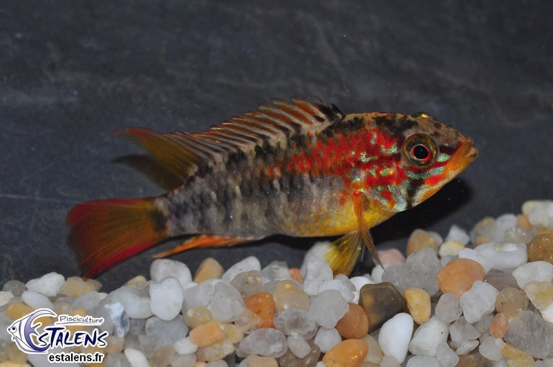 Apistogramma macmasteri Red 4-5(male)