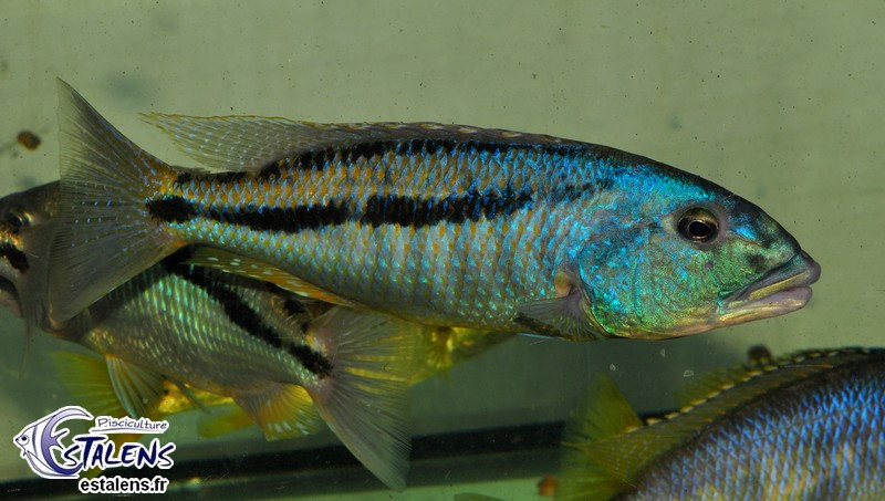 Aristochromis christyi  9-11 (Estalens)