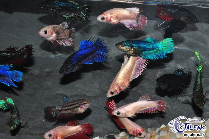Betta Femelle Crowntail Assort. 3.5-4