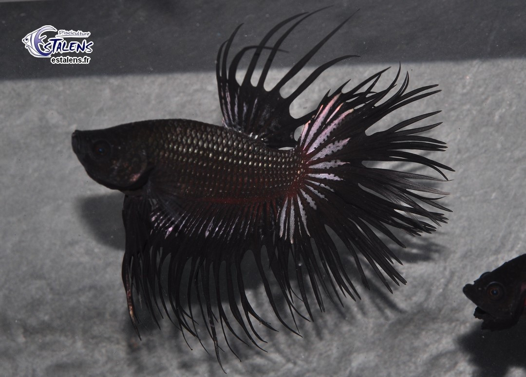 Betta Crown Tail King Black Copper  5-6