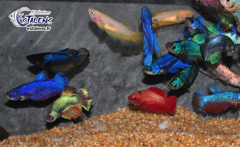 Betta Femelle HM Select. 3.5-4