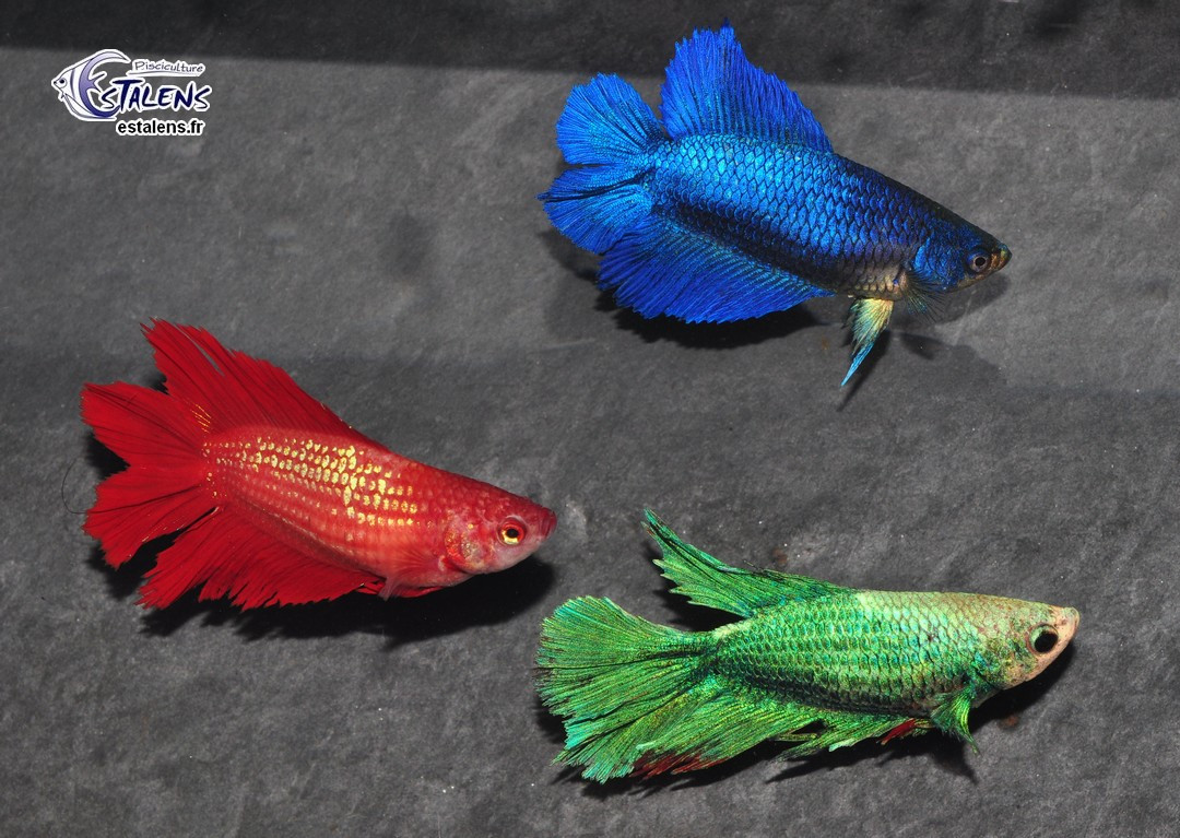Betta Femelle HM DbleTail Select. 3-3.5