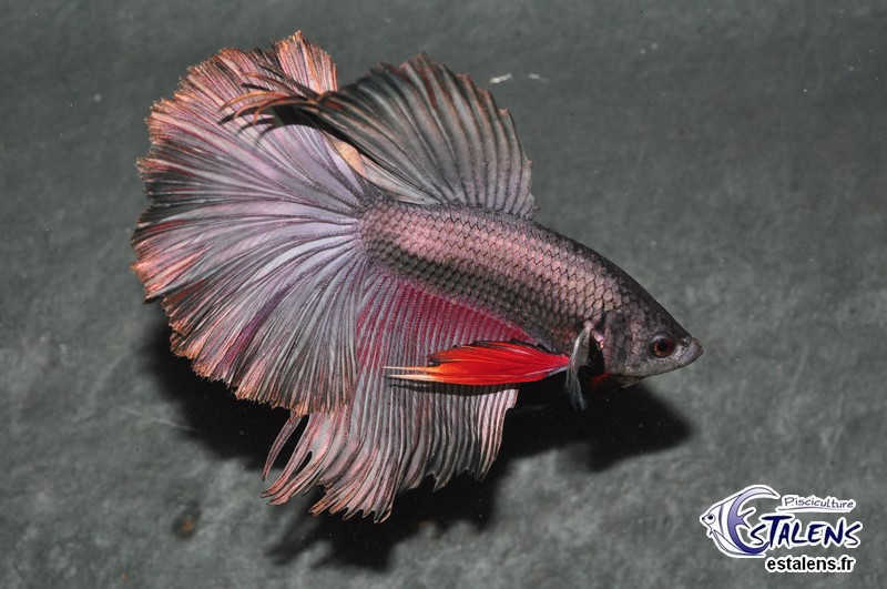 Betta HM 180° Copper Red Fin 5-6