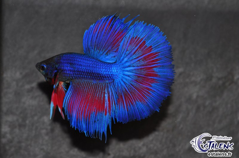 Betta HM Blue Marble/White Butterfly 5-6