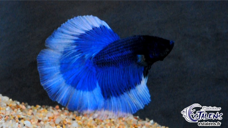 Betta HM Blue/White Butterfly 5-6
