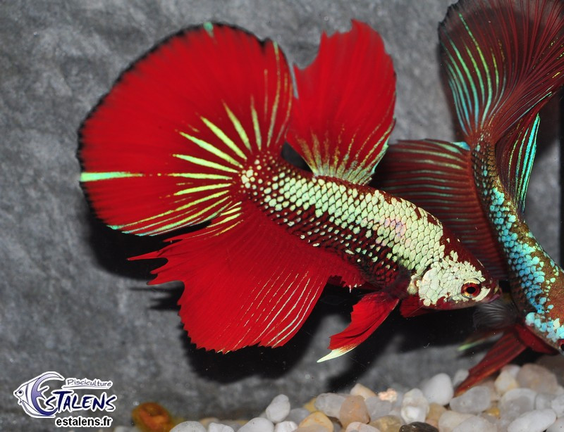 Betta HM Dragon Red 5-6
