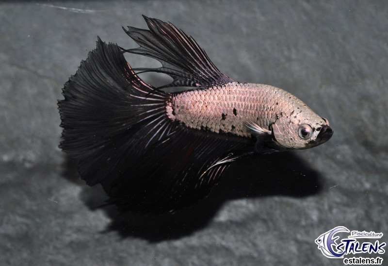 Betta HM Dragon Black 5-6