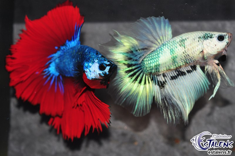 Betta HM Dragon Marble 5-6 SUPERBE