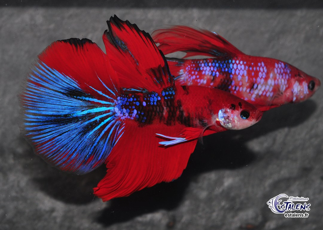 Betta HM Koï Galaxy 5-6 SUPERBE