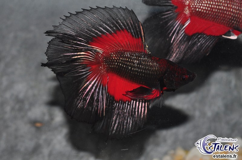 Betta Halfmoon Selection Assort. 5-6