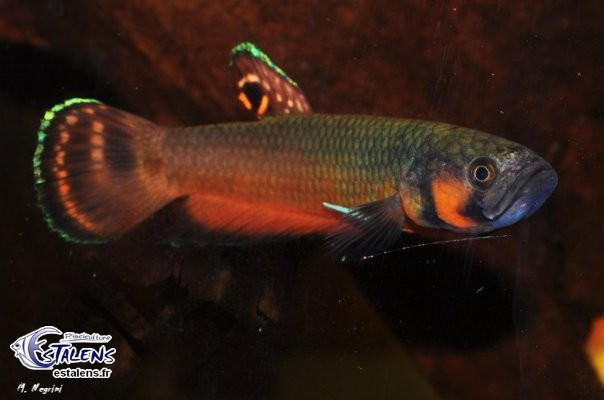 Betta macrostoma  7-9 (incub.buccal)