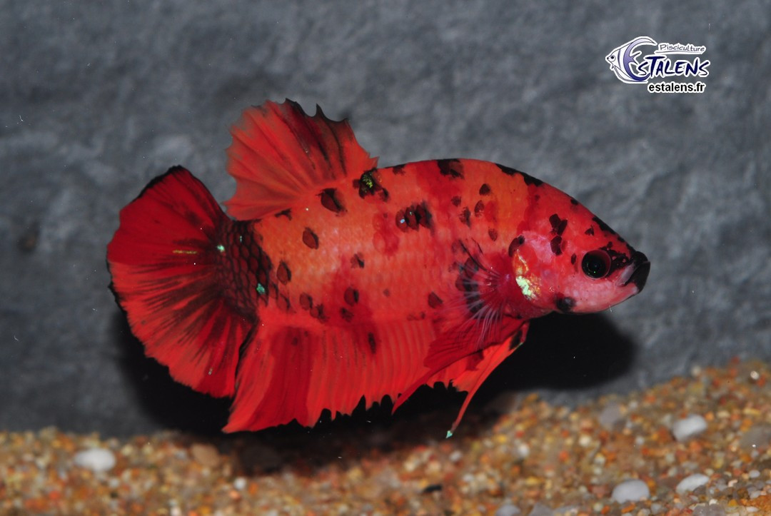Betta Plakat Giant Candy Koï 6+