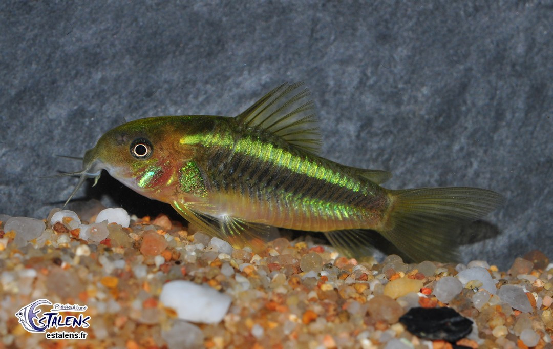 Corydoras Fluorescent Green (CW009) 3-4 SUPERBE