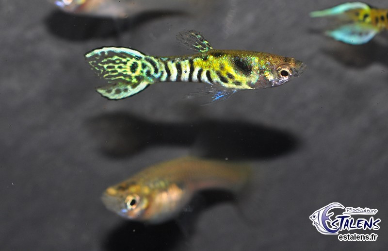 Guppy Endleri Tiger (mâle) 2-2.5
