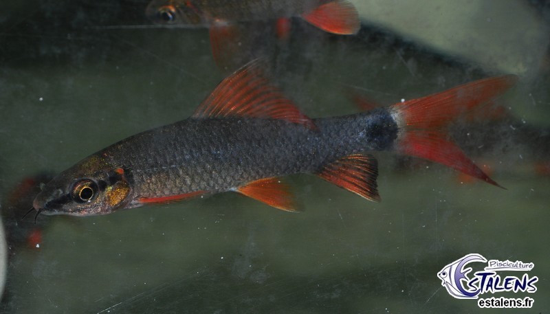 Labeo frenatus (erythrurus)  5-6