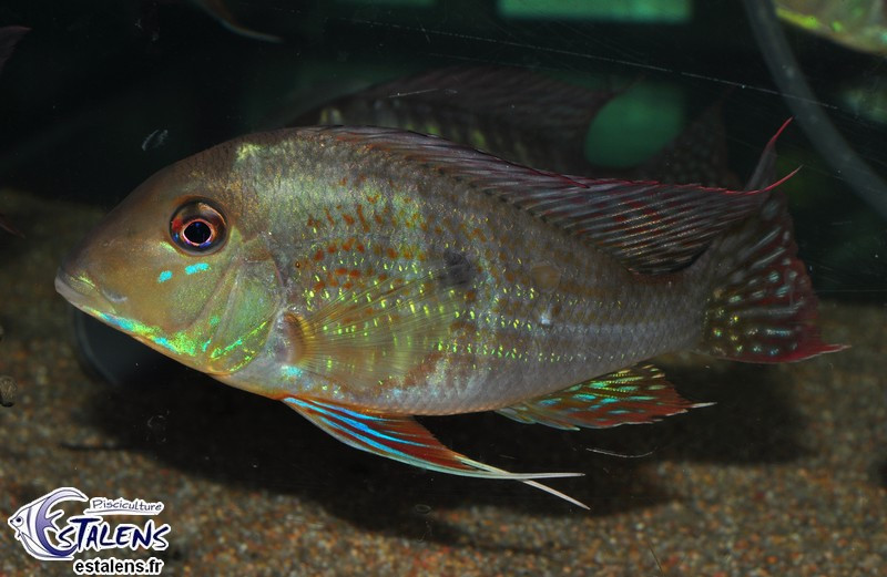 Geophagus neambi Tocantins 13-15 Svg SUPERBE