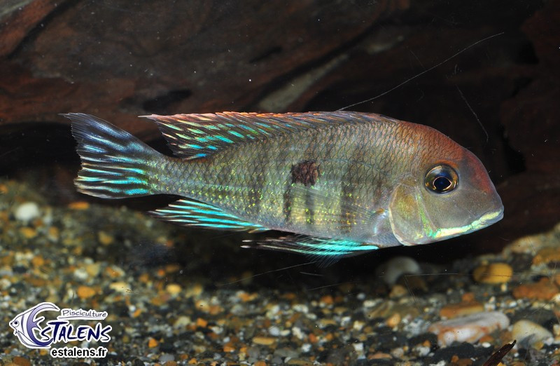 Geophagus sp. Tapajos Red Head 9-11 Svg SUPERBE