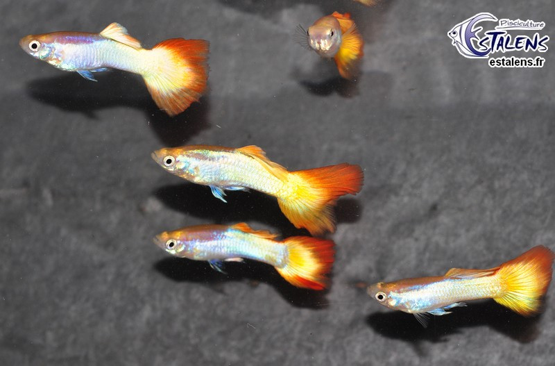 Guppy Flame  3-3.5 (sri)