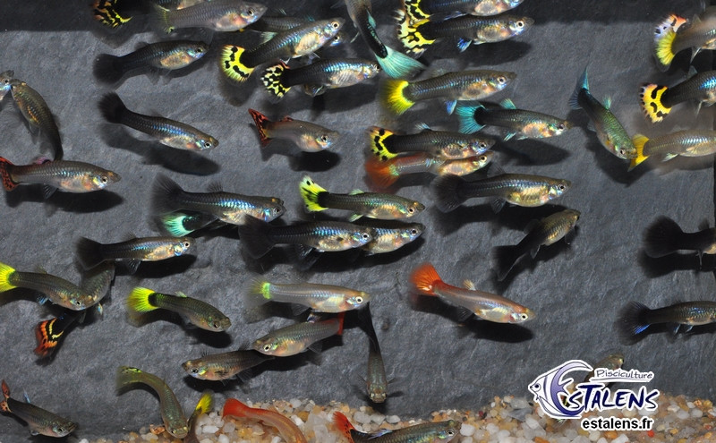 Guppy.Femelle (couleur Mix Select)  4-5 (isr)