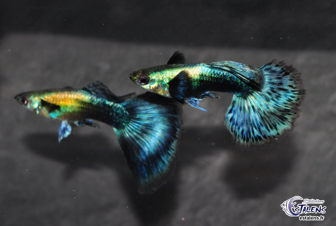 Guppy Dumbo Bleu 3.5-4 (sri)