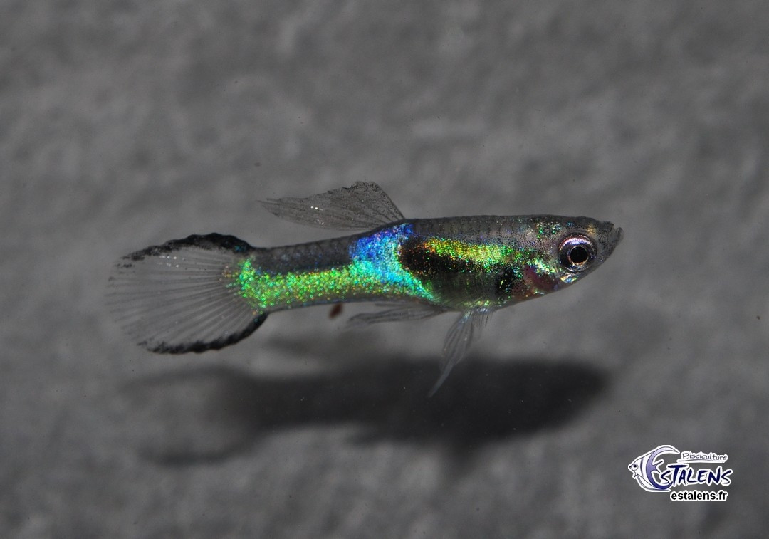 Guppy Endleri Blue Black (mâle) 2-2.5
