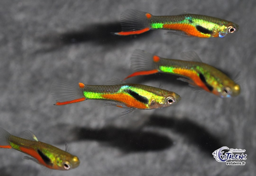 Guppy Endleri Green/Black/Red (en cple) 2-2.5