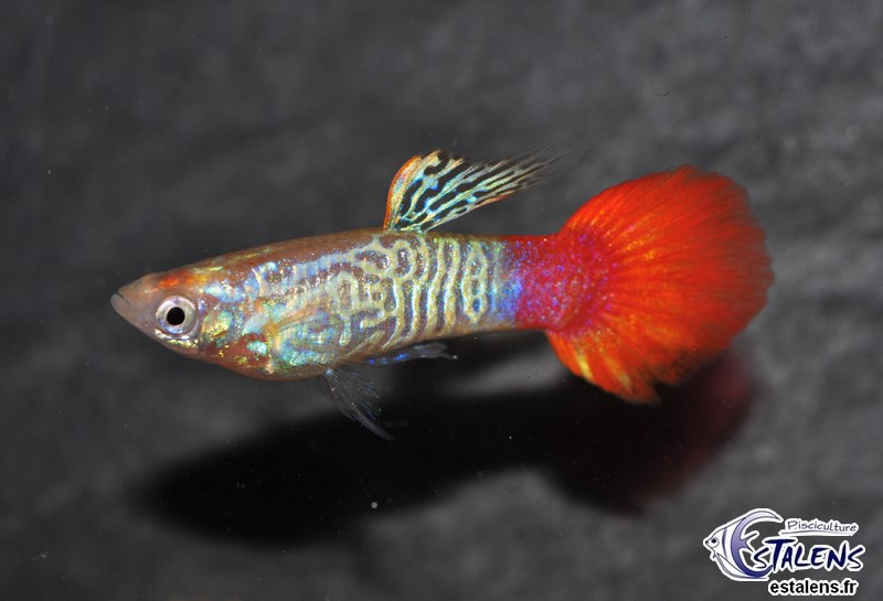 Guppy Flame Sunset Cobra  3-3.5 (sri)