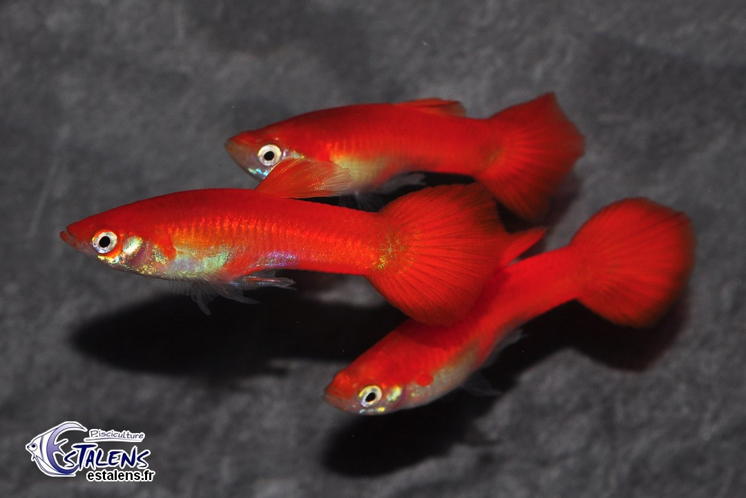 Guppy Flamingo Red 3.5-4 (sri)