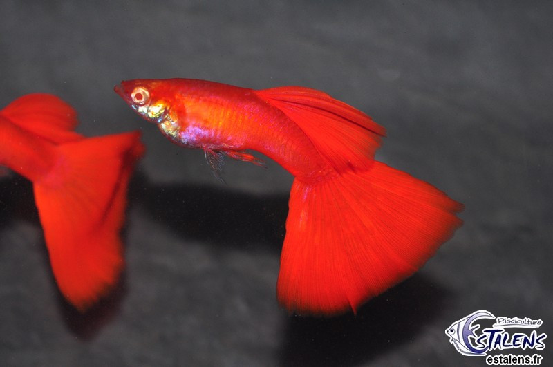 Guppy Solid Full Red Albino 3-3.5 (en cple)(Estale