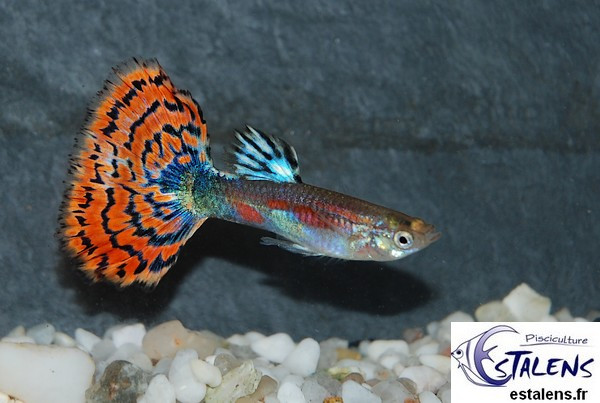 Guppy Calico Rouge  3.5-4 (sri)
