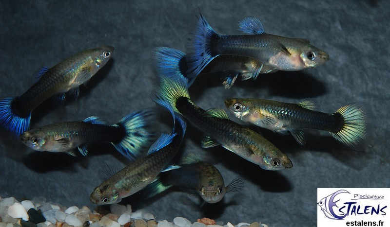 Guppy Fem. Neon Bleu  3-4 (sri)