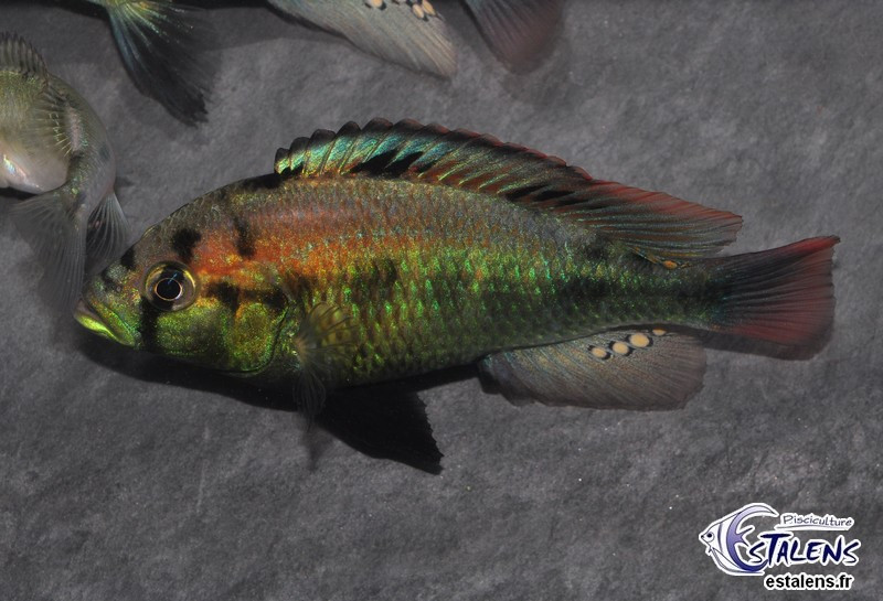 Haplochromis aeneocolor  5-7 (Yellow Belly)