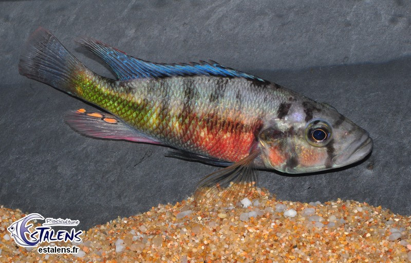 Haplochromis sp. Orange Rock Hunter 15-17(fem)