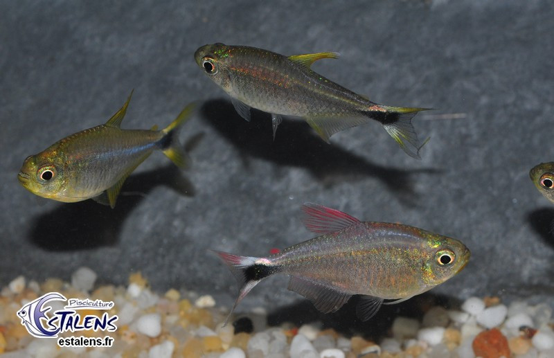 Hyphessobrycon robustulus (Papagei) 3.5-4