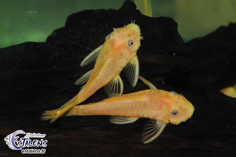 Ancistrus sp. Orange L144  3.5-4