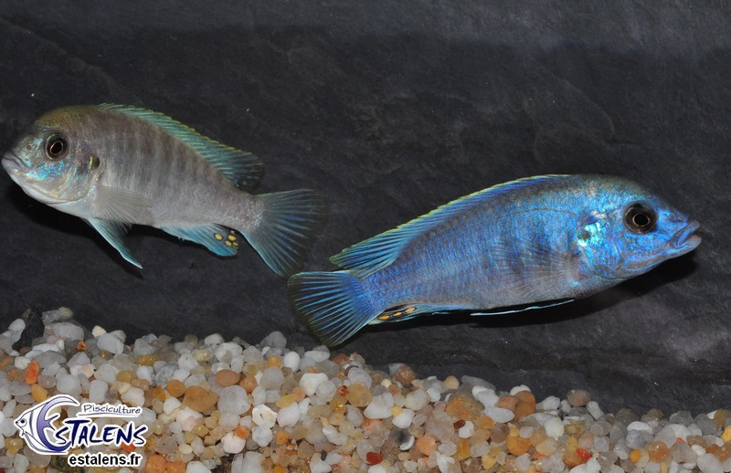 Labidochromis caeruleus Blue/White Tumbi Point 7-9