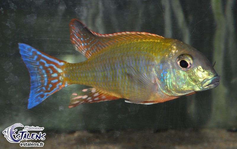 Lethrinops albus Kande 11-13 (males)