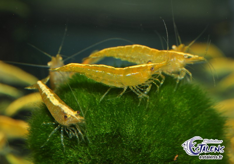 Neocaridina davidi Yellow Neon Top 2-2.5+ SUPERBE