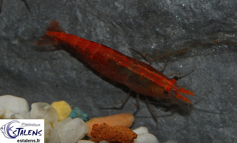 Neocaridina davidi Red Cherry 1.5-2