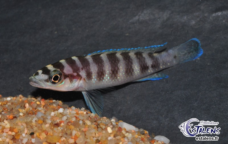 Neolamprologus cylindricus 9-11