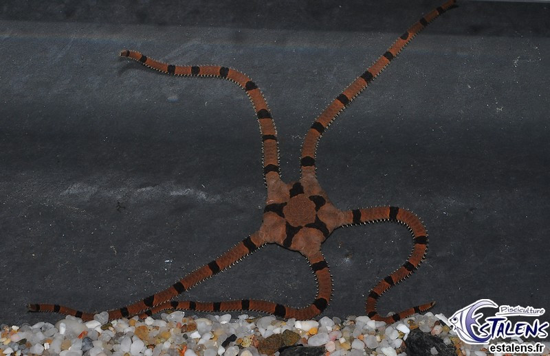 Ophiolepis superba XL