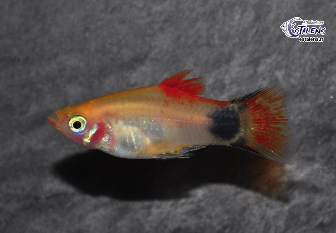 Platy Batman Or Dos Rouge 3.5-4