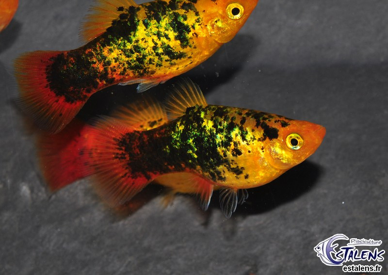 Platy Calico Sunset Métal  3.5-4