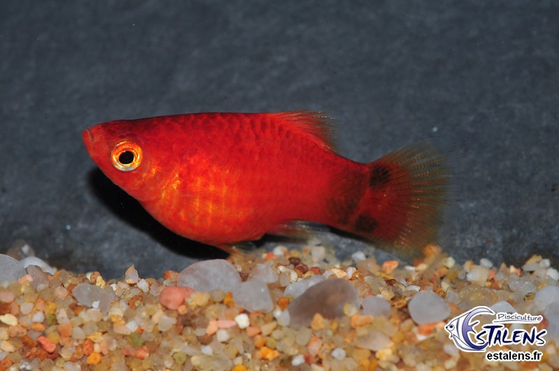 Platy Corail Mickey Rouge  3-3.5